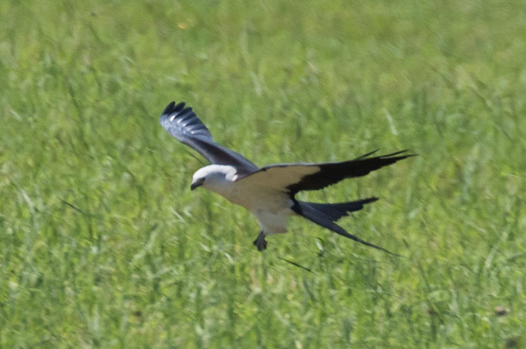A Swallow-tailed Kite flying low over a field