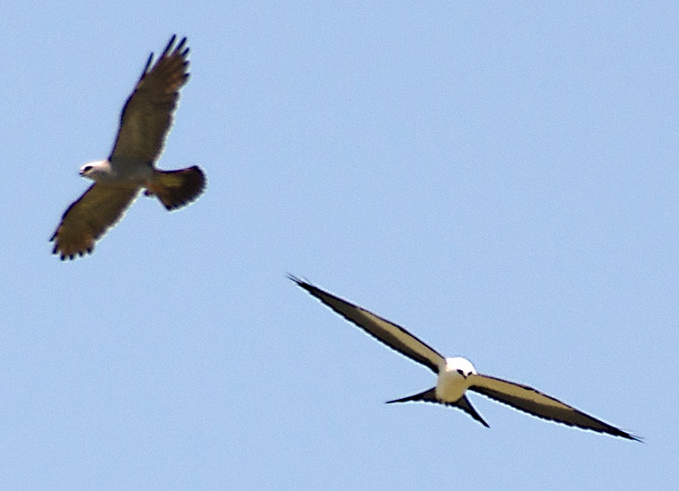 A Mississippi Kite (left) and a Swallow-tailed Kite (right)