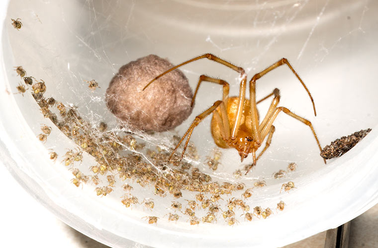 Spider with and egg case and progeny from another egg case