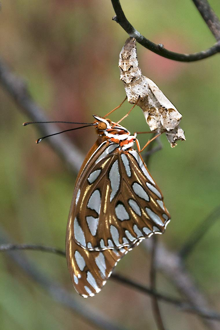 A Gulf Fritillary Butterfly that has just emerged from its chrysalis