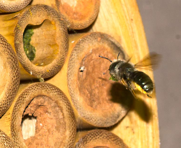 A leafcutter bee returning with leaf fragments for its nest