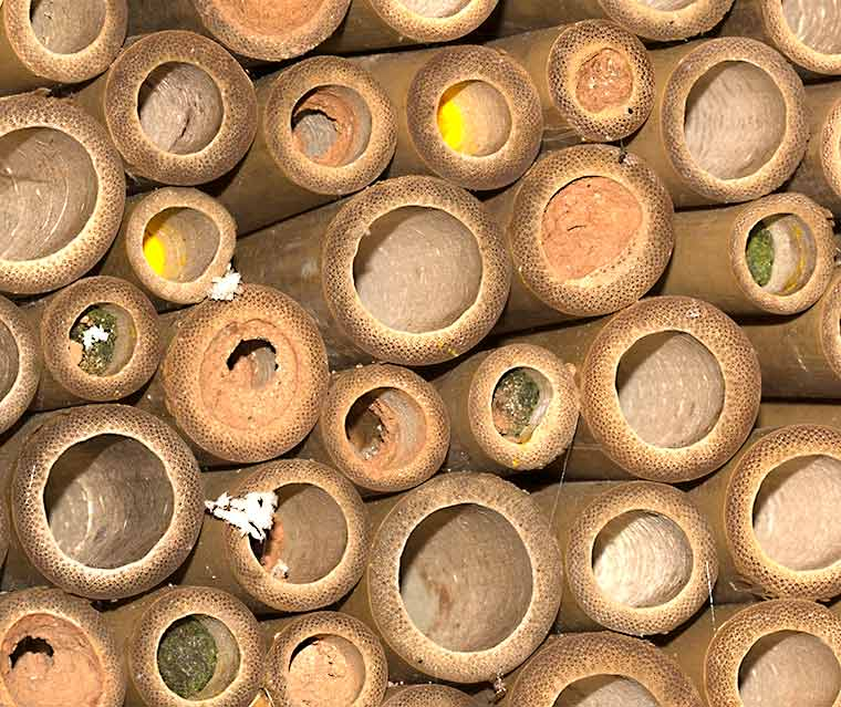 A portion of wasp nesting box. Some of the bamboo tubes contain pollen, others are plugged with mud or leaf fragments.