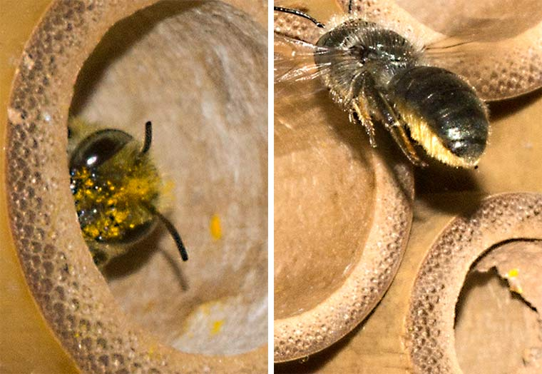 Left: a leafcutter bee peers out of its nesting tube. Right: Leafcutter bee showing skopa on the underside of its abdomen