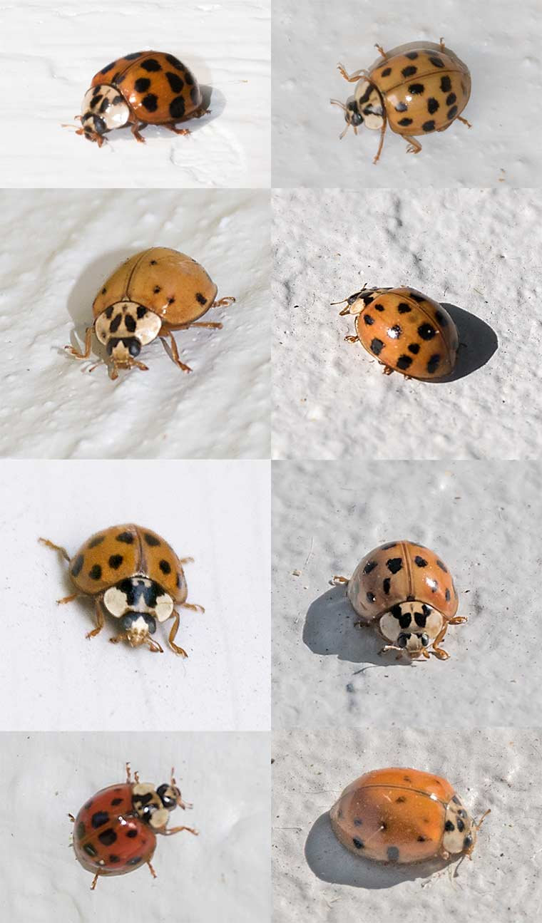 Several individuals of the Harlequin Ladybird Beetle
