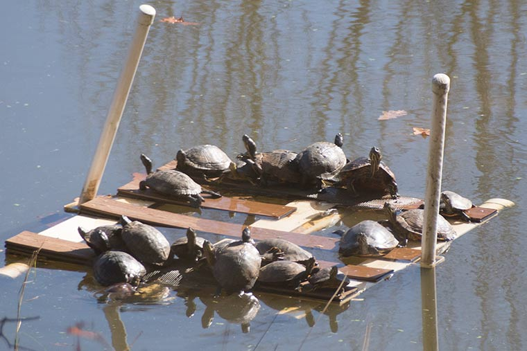 Turtles basking on the raft