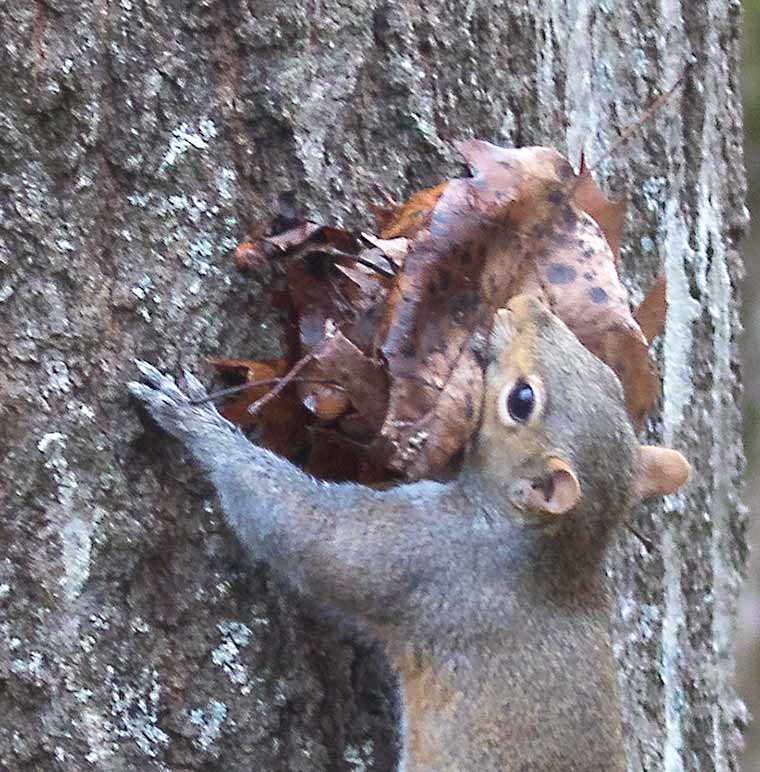 Detail of squirrel carrying leaves.