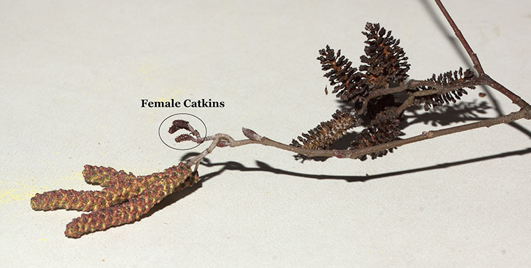 Male and female catkins of Hazel Alder