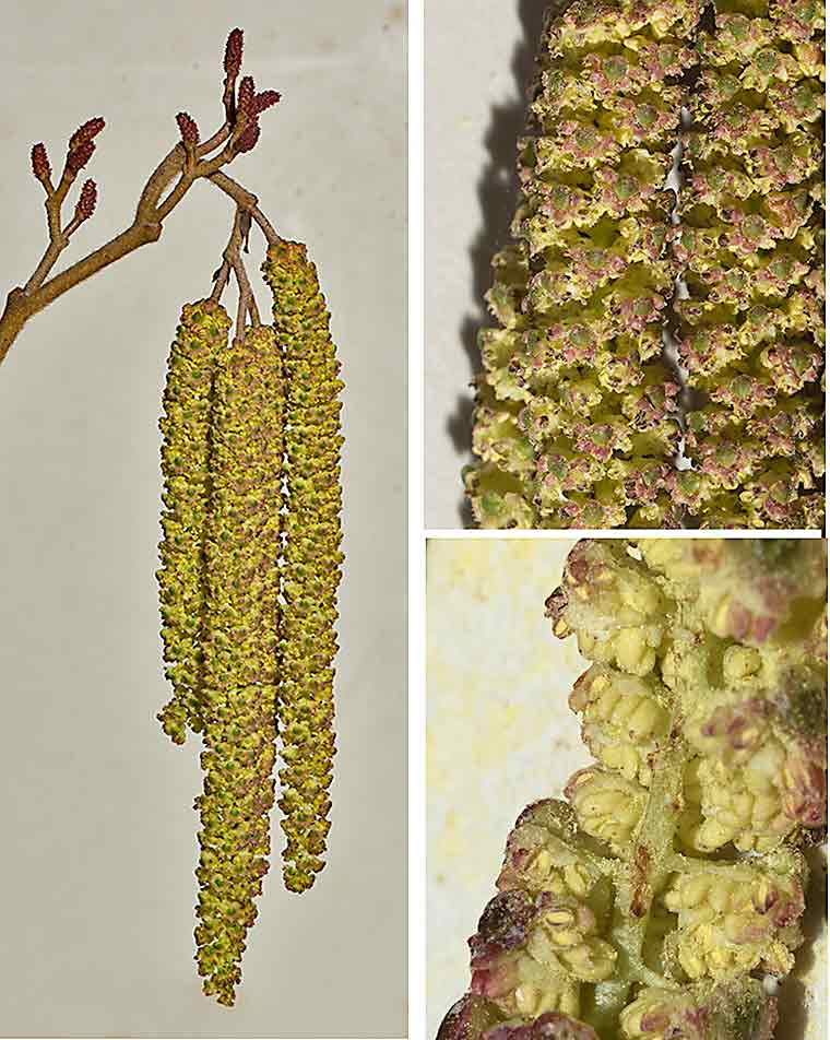 Male catkins of Hazel Alder at various magnifications