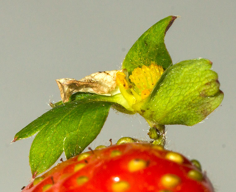 Detail of a small plant growing on the surface of a strawberry