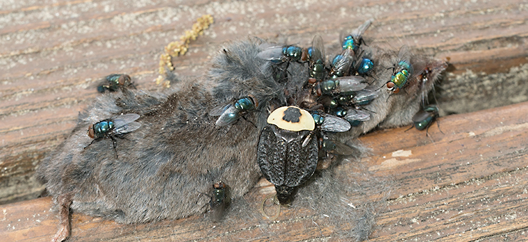 A dead mouse that has attracted blow flies and a carrion beetle
