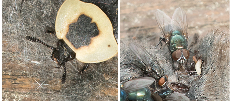 Detail of an American Carrion Beetle and some Blow Flies