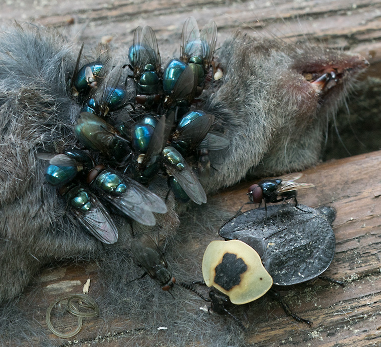 Blow Flies and a Carrion Beetle with a dead mouse.