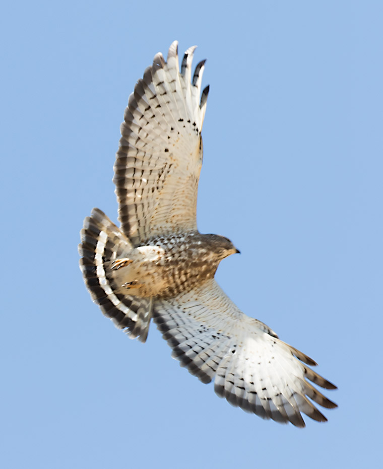 A Broad-winged Hawk in flight