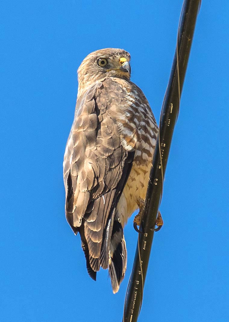 A Broad-winged Hawk