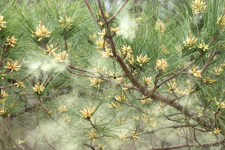Pollen being shed from a Loblolly Pine