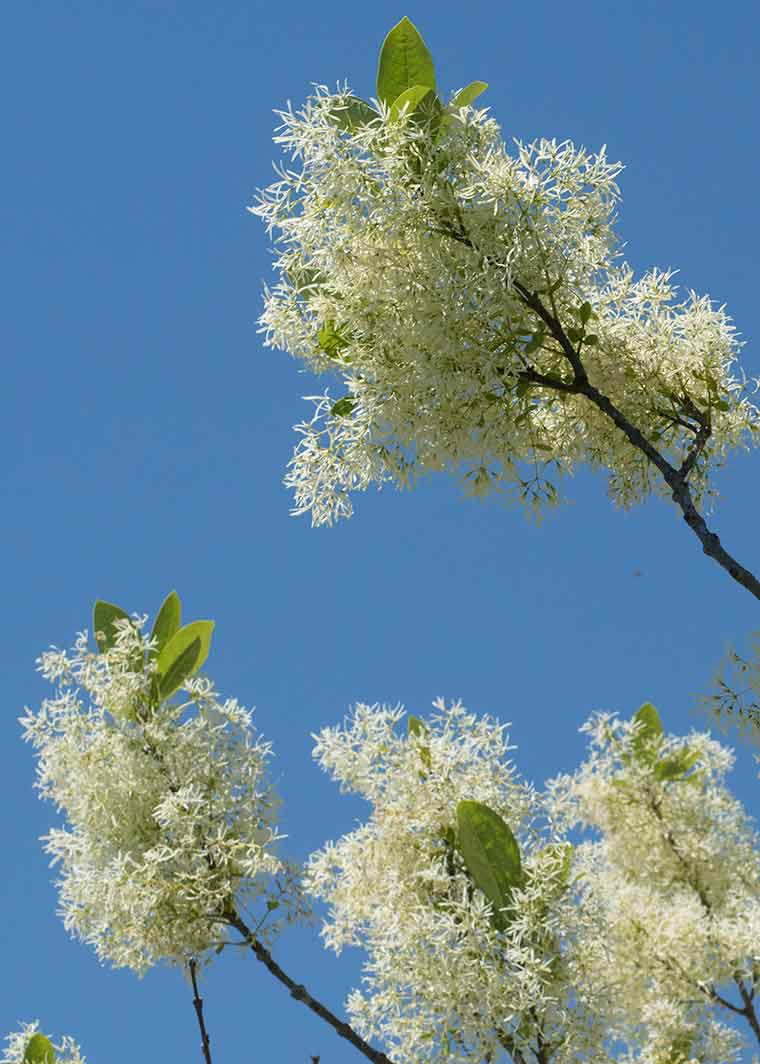 Fringe Tree flowers against the sky