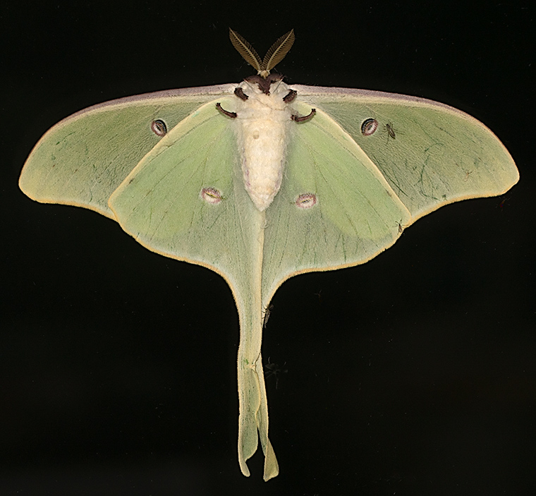 It is a Luna Moth!