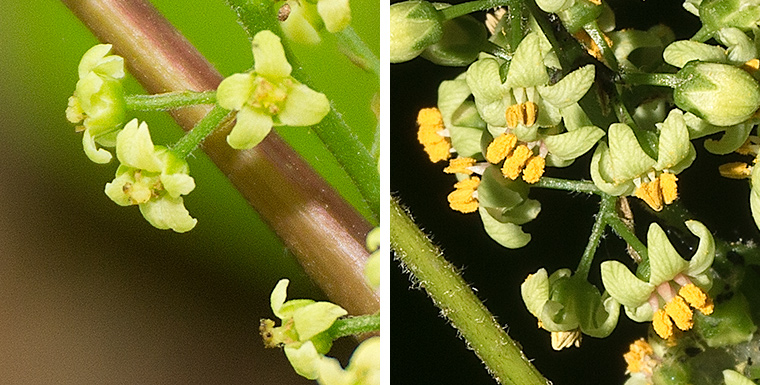 Female (left) and male (right) flowers of Poison Ivy