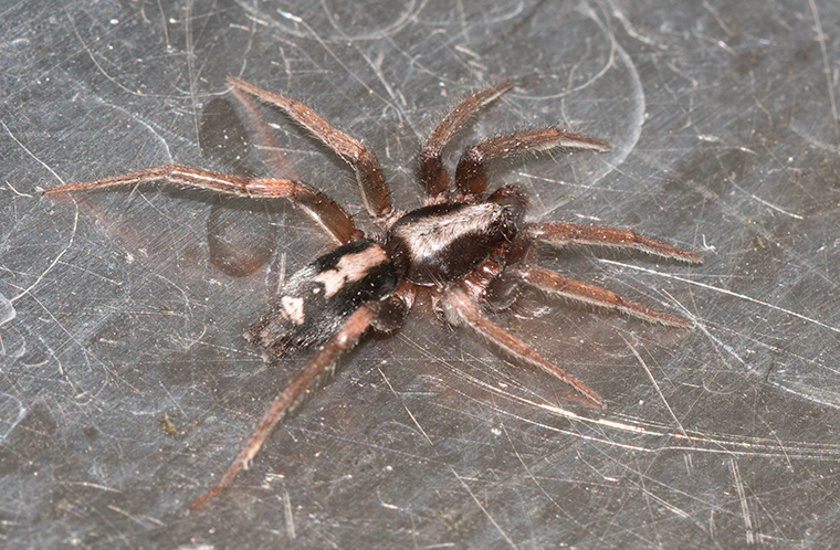 A Parson Spider in the sink