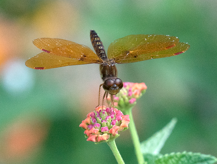 An Eastern Amberwing dragonfly on a lantana plant