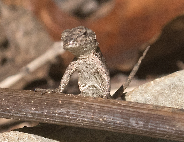 an Eastern Fence Lizard