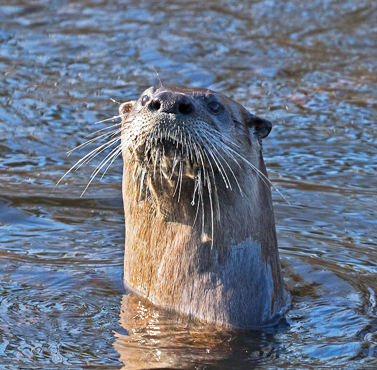 An otter looks us over