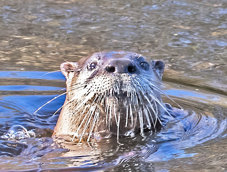 An otter pokes it head out of the water for a good look.