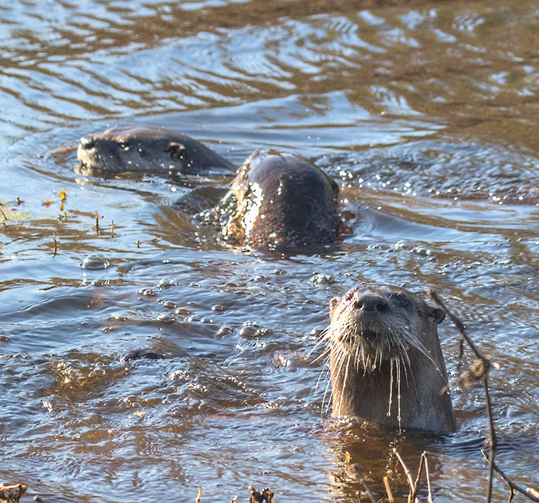 Three otters in a roadside ditch