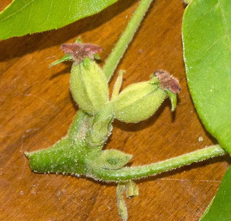 Young female flowers of hickory.