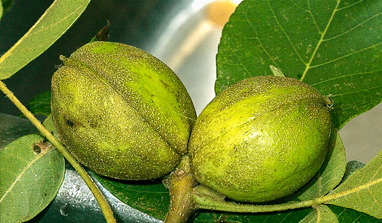 Nearly mature hickory nuts.