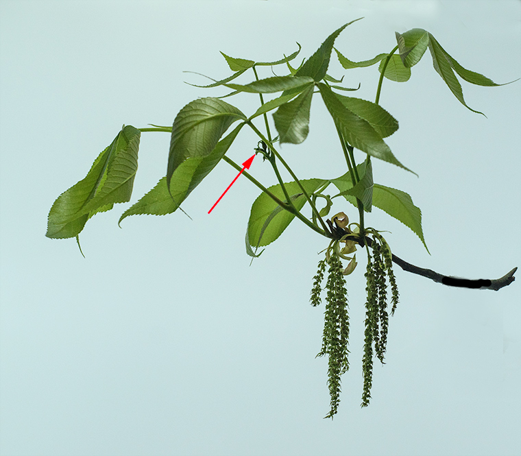 Flowering branch of a hickory. Female flowers are indicated by the red arrow.