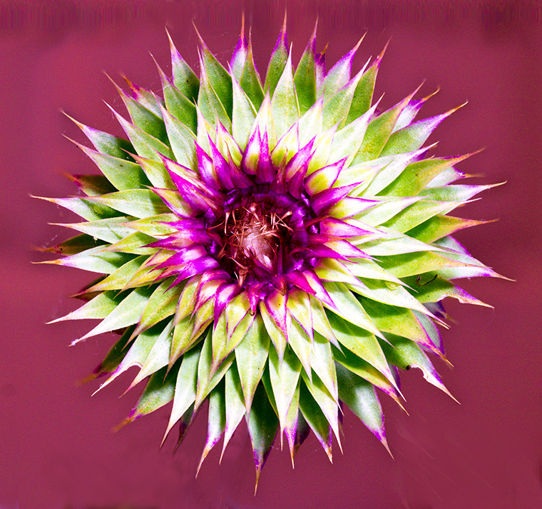 A single flower head of Nodding Thistle.