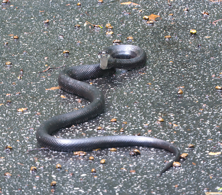 A Black Rat Snake on our driveway,
