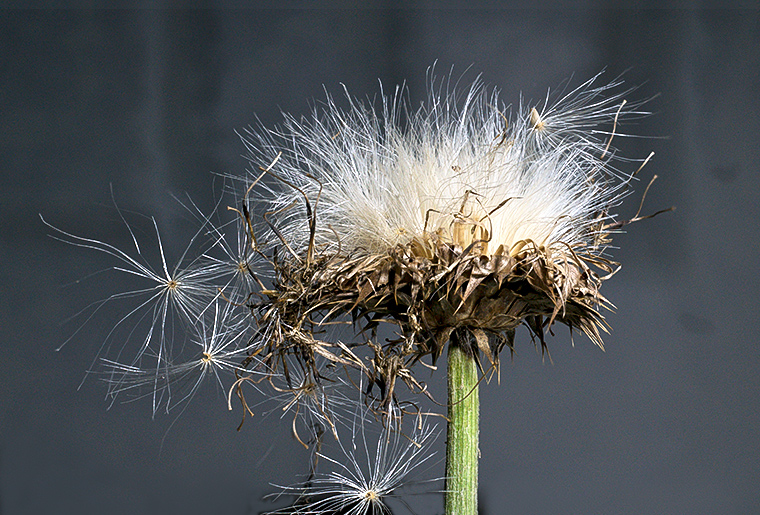 A Thistle Flower with Mature Seeds.