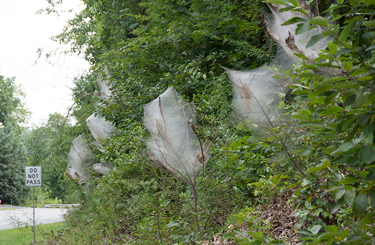 Tent Caterpillarwebs along a highway.
