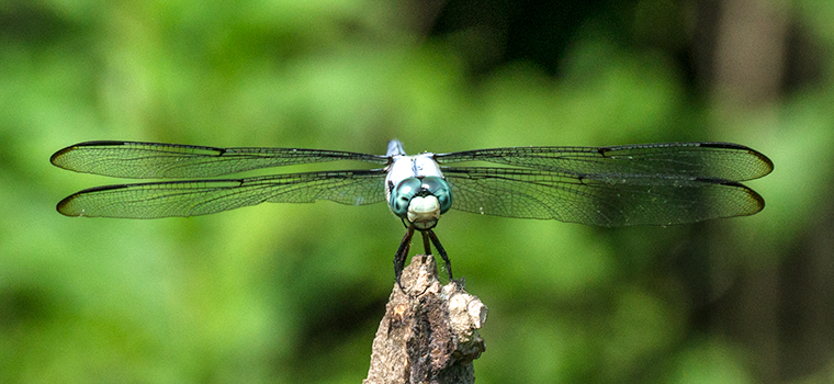 Head on view of a Great Blue Skimmer