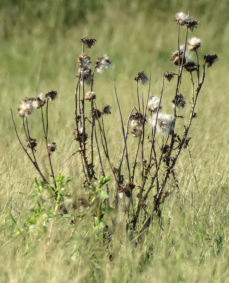 A Late-stage Thistle Plant.