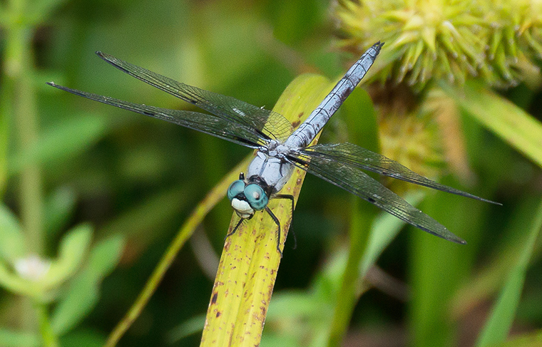 A male Great Blue Skimmer