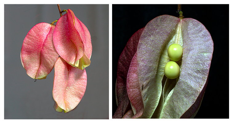 Capsules of a Chinese Flame Tree (left) and the Seeds Inside (right)