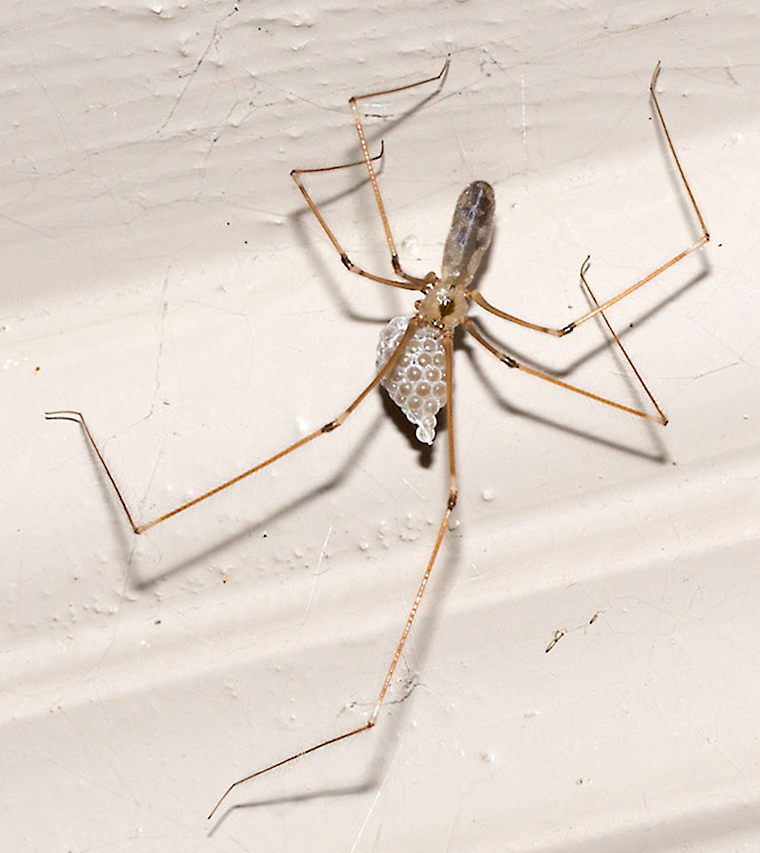 Longbodied Cellar Spider with an egg case.