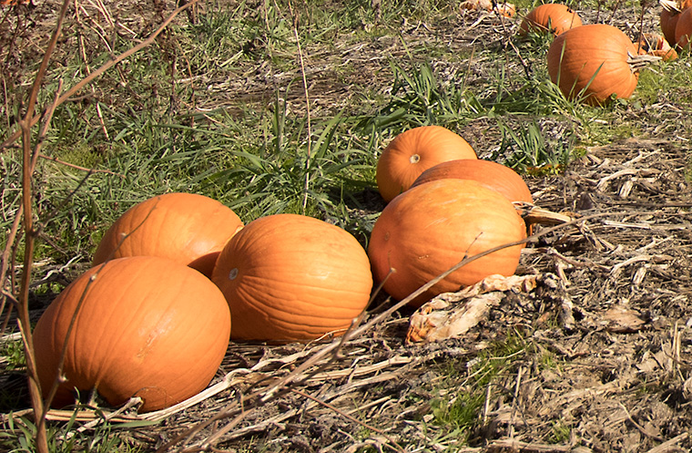 Pumpkins in a Southern Indiana field.